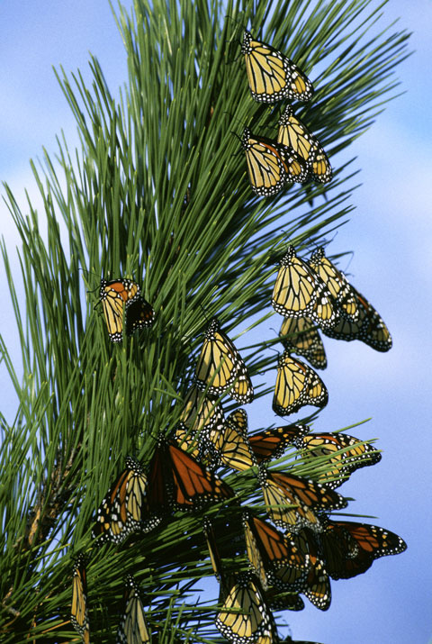 Monarch butterfly migration tree - photo#14