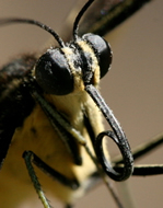 This is a Close-Up of aButterfly's Proboscis (Coiled Straw). This is How Butterflies Eat.