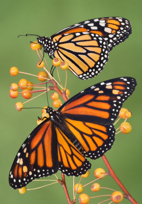 http://phys.org/news/2014-06-monarch-butterfly-magnetic-sun-compasses.html