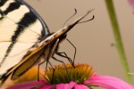 This Butterfly Is Eating Nectar from a Flower. Do You See the Proboscis(Feeding Straw)?