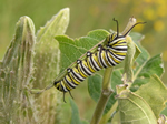 A Monarch Caterpillar will ONLY Eat Milkweed Plants.