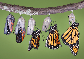 Monarch Emerging from a Chrysalis