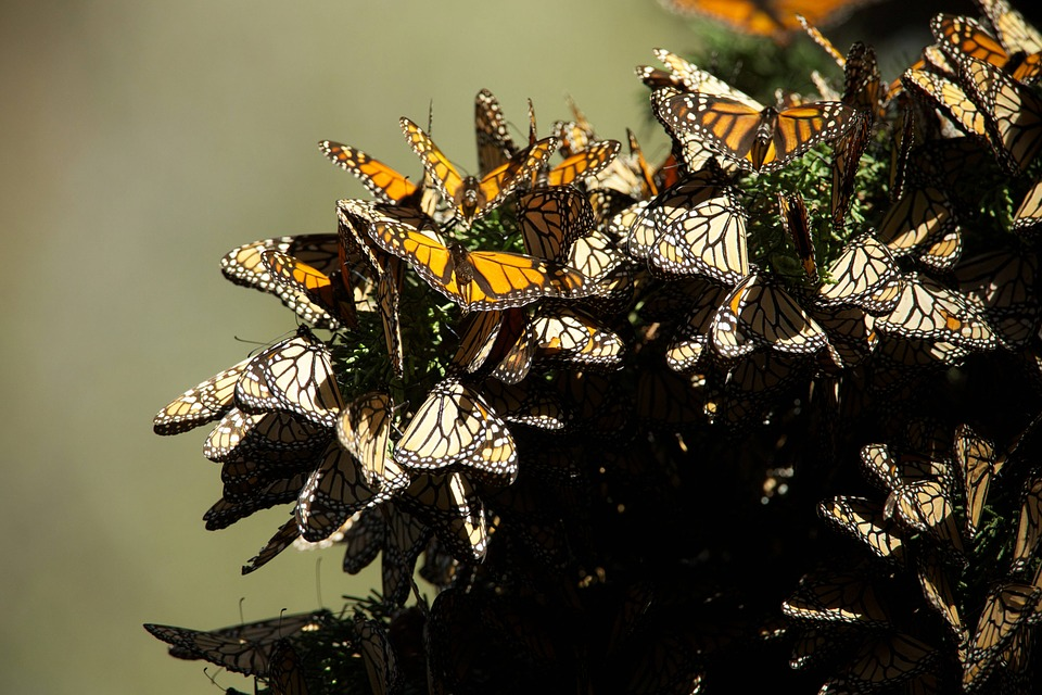 Monarchs Like to Hibernate in the Same Trees Every Year