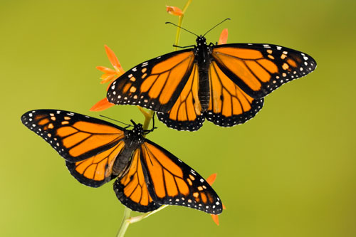 "Monarch butterflies are the most beautiful of all butterflies, some say, and are considered the ""king"" of the butterflies, hence the name ""monarch""."