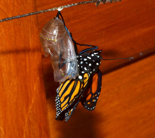 How to Grow Monarch Butterflies? Find out all about it in this article.