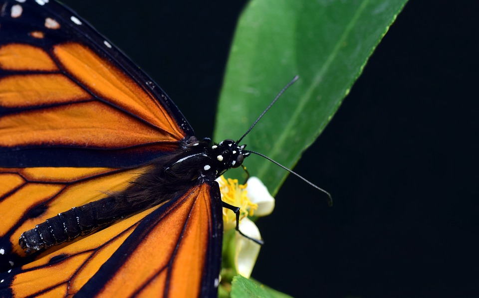 Why Are Monarch Butterflies Vanishing? Find out All About It in This Article.