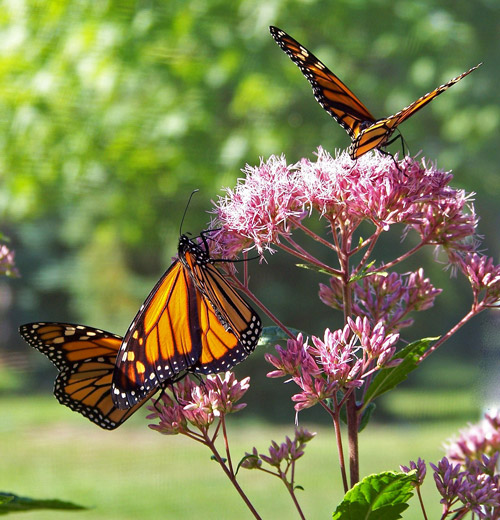 How Can We Help Monarchs? Multiple Ways of Saving Monarchs.
